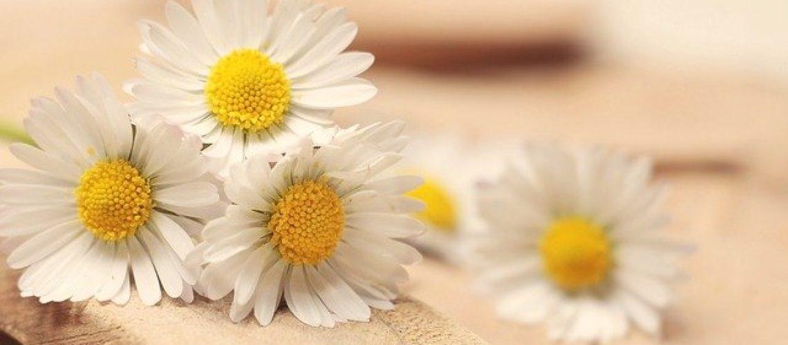 daisy-2313971